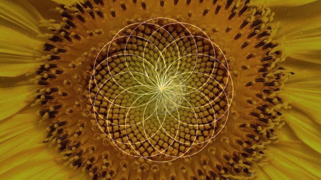 Foto von einer Nahaufnahme einer Sonnenblumen Blüte und darüber ein Torus halbtransparent. Die Linien haben die selbe Muster