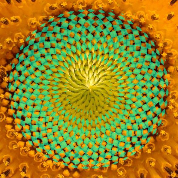 Bild von einem Samenstand der Sonnenblume mit den eingefärbten Flächen des Torus der heiligen Geomtrie. heilige Geometrie Formen in der Natur - der Torus